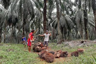 Pecah Rekor Sepanjang Masa, Inilah Daftar Lengkap Harga TBS Sawit di Riau