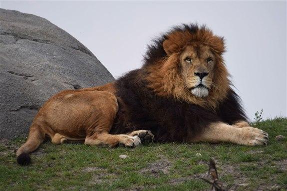 A hayvan aslan