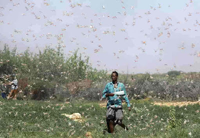 Gafanhotos-na-Somalia