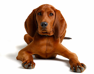 Everything about your Redbone Coonhound