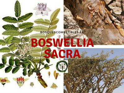 Boswellia sacra, el árbol del incienso. Se hacen incisiones en su corteza entre los meses de febrero y marzo