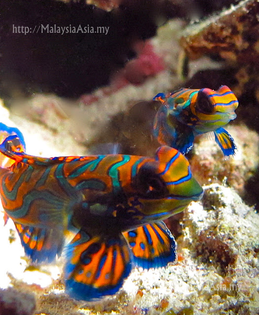 Mabul Island Mandarin Fish Photo