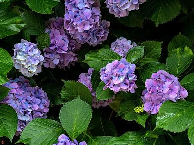 Ajisai (Hydrangea macrophylla) flowers: Kita-kamakura