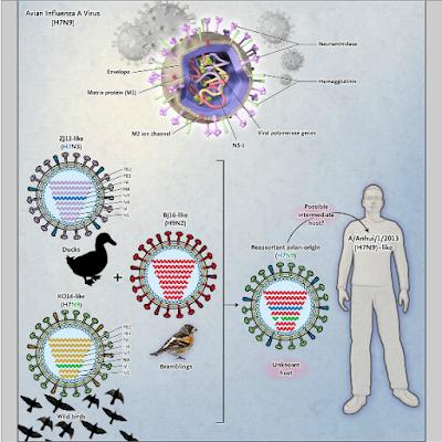 Pericolo influenza aviaria virus H7N9 colpisce