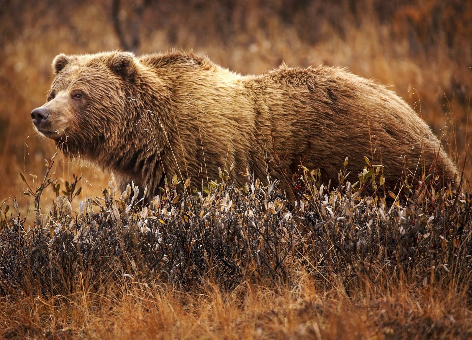 野を横向きに歩く灰色熊