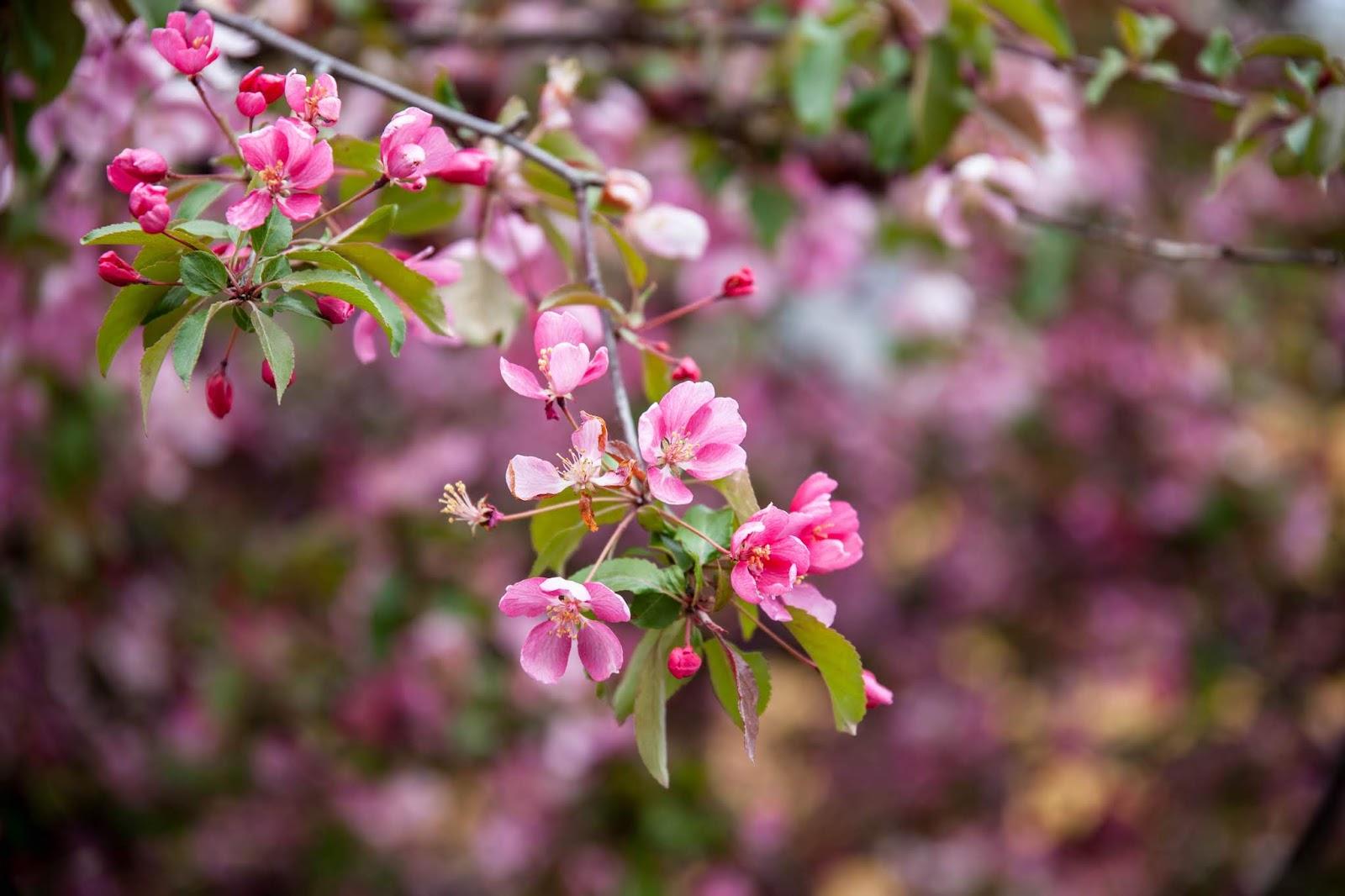 koristeomenapuu kukka