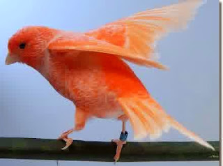 kenari merah wortel