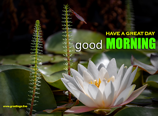 beautiful water lily images with good morning wishes