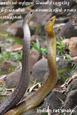 different colour Indian rat snake.