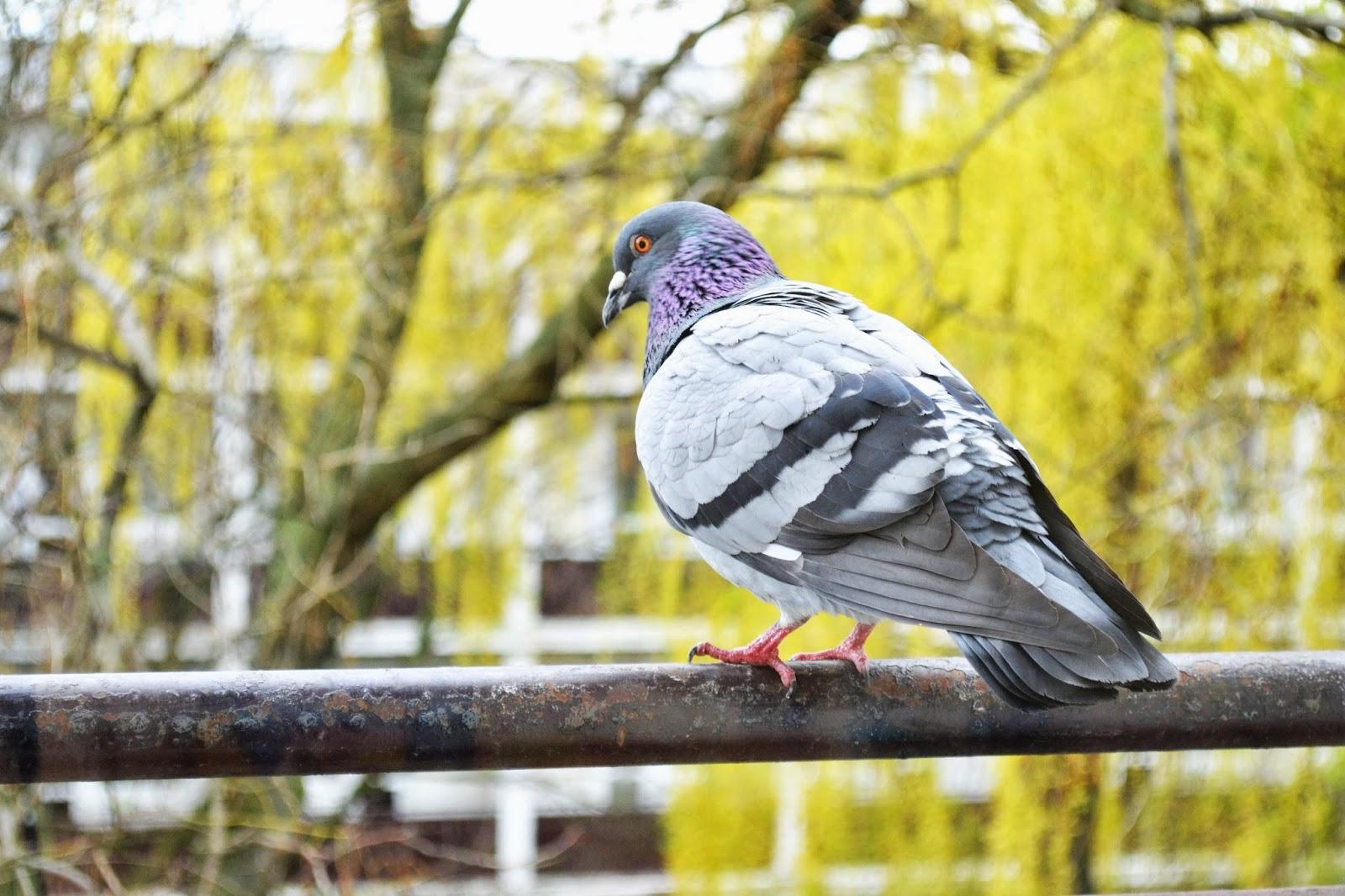 Výsledok vyhľadávania obrázkov pre dopyt jar obdobie holub