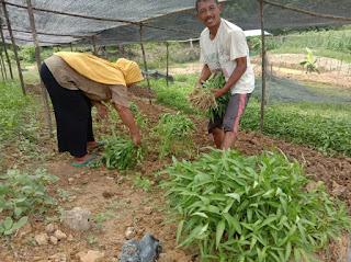 Tatkala Kemitraan Petani dan Perusahaan HTI Berbuah Manis