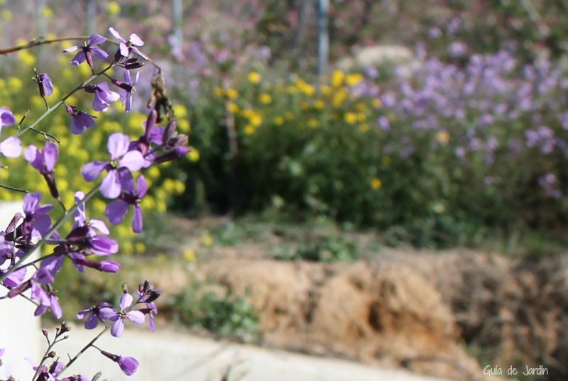 Flores silvestres de color lila Moricandia arvensis