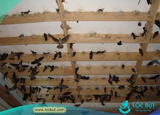 Nhà yến thành công có nhiều chim yến ở (nguồn ảnh internet)