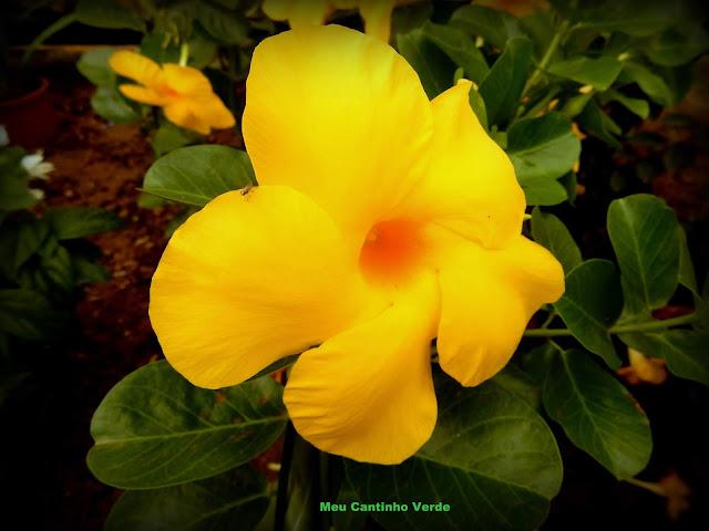 Flor  DIPLADÊNIA-AMARELA, MANDEVILA-AMARELA, ALAMANDA-SELVAGEM