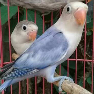 4 Cara Jitu Melatih LoveBird Agar Ngekek Panjang