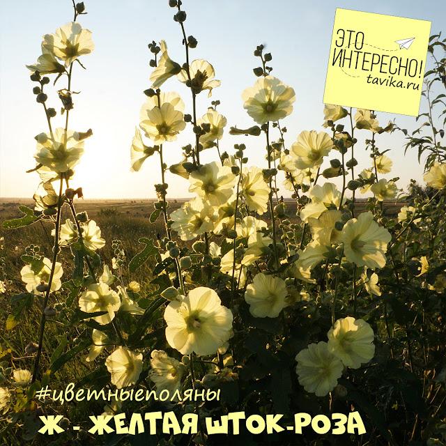 Шток-роза, Крым