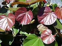 waru merah/hibiscus tiliaceus rubra
