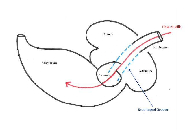 esofageal atau reticular groove pada ruminansia sapi
