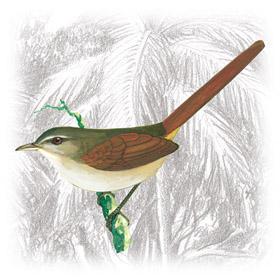 João-Teneném-Becuá (Synallaxis gujanensis)