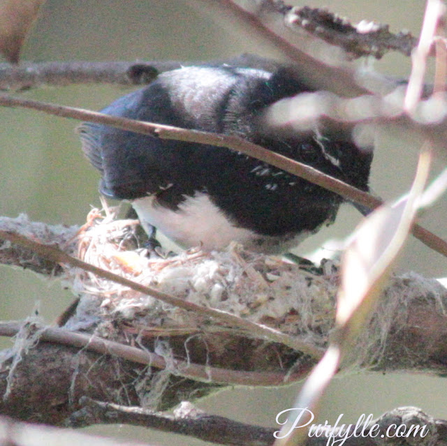 willie wagtail nest construction is serious business with serious construction
