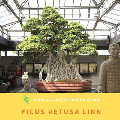 Ficus Retusa Linn