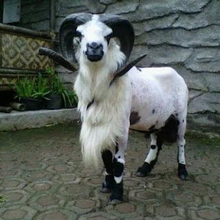 Gambar Domba Garut Jantan