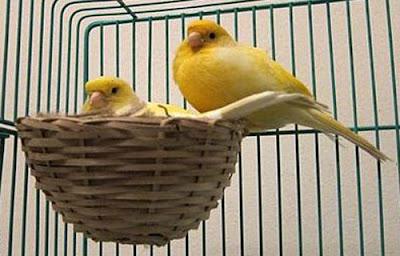 """""""Rahasia Sukses"""" Cara Budidaya Kenari Bagi Penikmat Burung"""