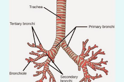 Pengertian Trakea (Batang Tenggorokan) Beserta Fungsi, Struktur Dan Bagian Terlengkap Disini