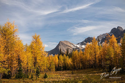 Golden larch above Floe Lake and the Rockwall in Kootenay National Park, British Columbia, Canada