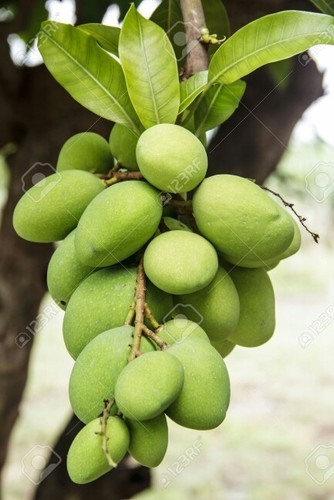 Best Seasonal Fruits Mangoes Trading Business Idea - Green Mangoes
