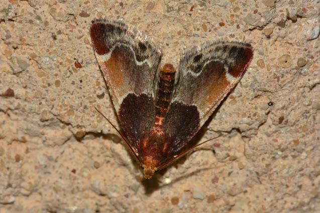 Pyralis lienigialis