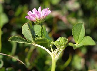 Trébol fresa (Trifolium fragiferium)