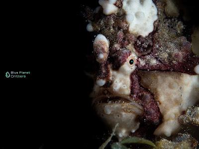 Underwater photography 水攝 Macro 微距 Scuba dive 潛水 Olympus em1mark2