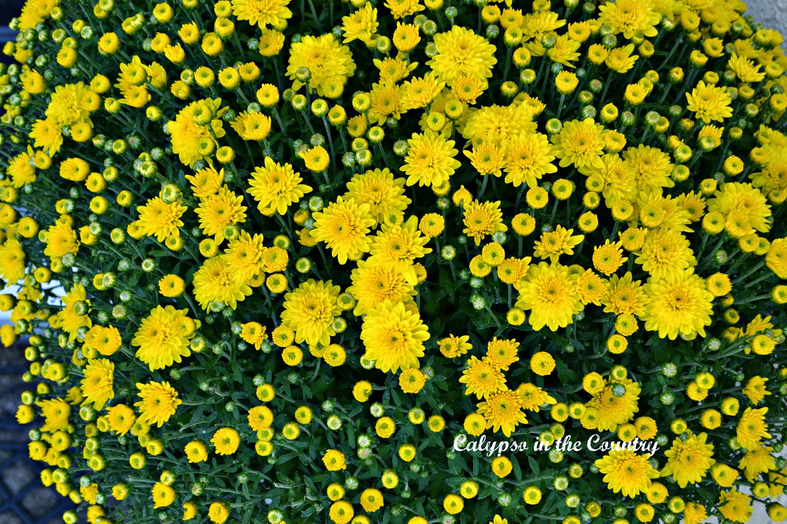 Yellow mums for fall