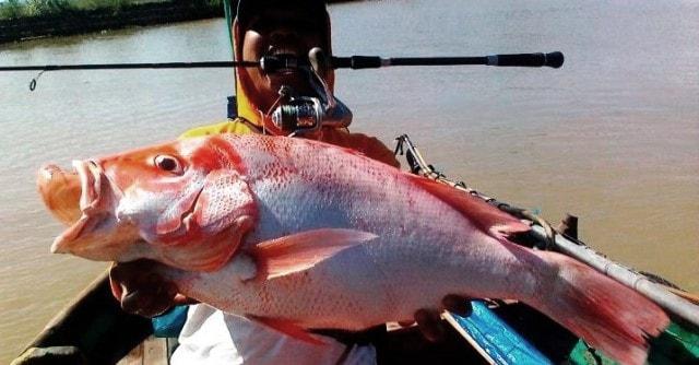 Umpan jitu ikan kakap merah yakni udang hidup