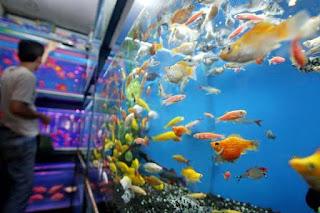 Peluang Bisnis Ikan Hias, Omset Besar Dan Menguntungkan