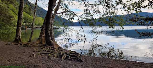 Clear Water and the exposed tree roots at Lake Crescent