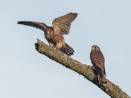 Kestrels and a Kite