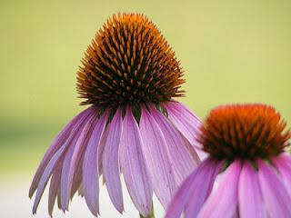 echinacea planta medicinala