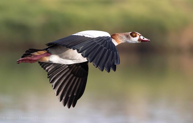Egyptian Goose in Flight over the Diep River Woodbridge Island Photo: Vernon Chalmers