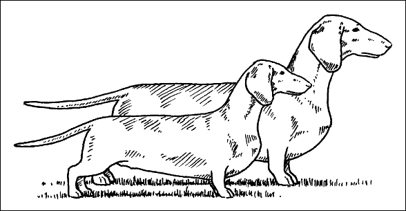 The Long And Short Of Dachshund