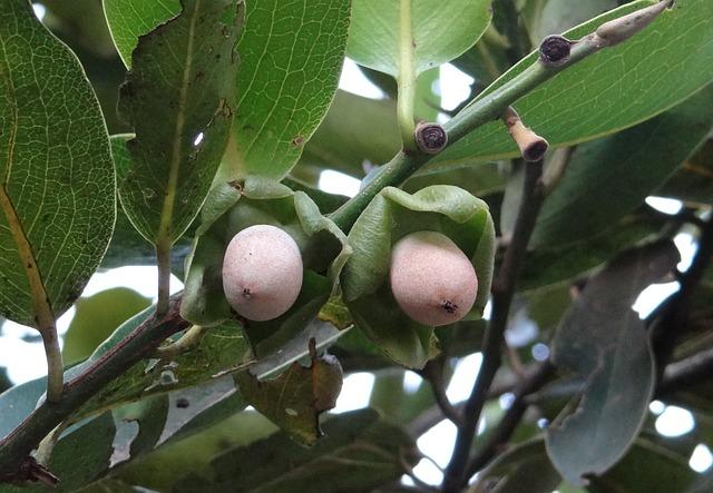 How many diseases attract in Kendu leaf?