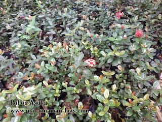 Jual Pohon Asoka Jambon | Tanaman Asoka Untuk Pagar | Bunga Asoka