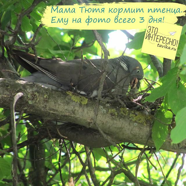 голубь кормит птенца