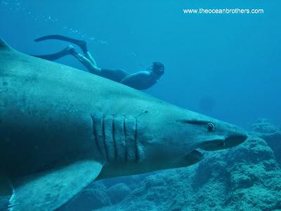 Kleinzahn-Sandtigerhai oder Schildzahnhai
