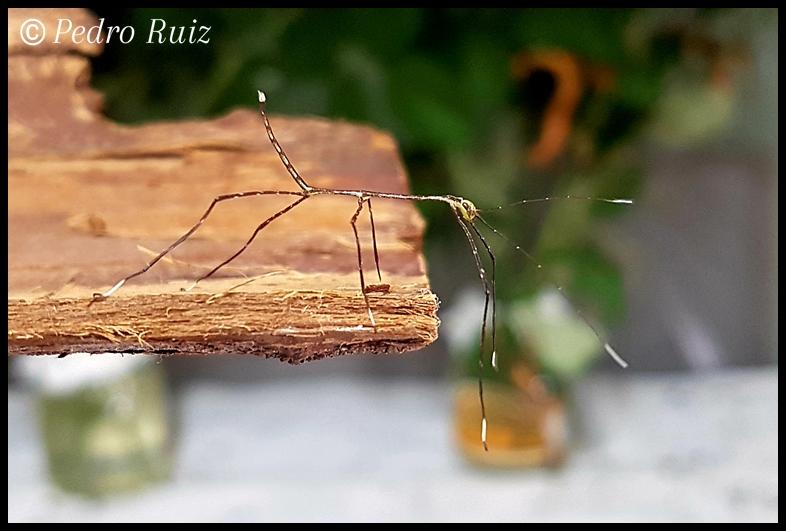 """Ninfa L1 de Phanocles ploiaria """"Los Mandarinos"""", 2,2 cm de longitud"""