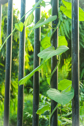 Giloy Creeper and leaves | Herbal Arcade