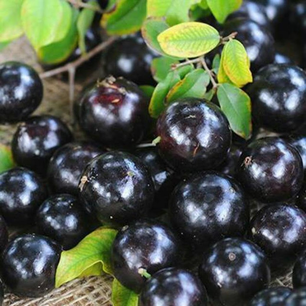 Bibit Anggur Pohon Brazil Preco Sumatra Utara
