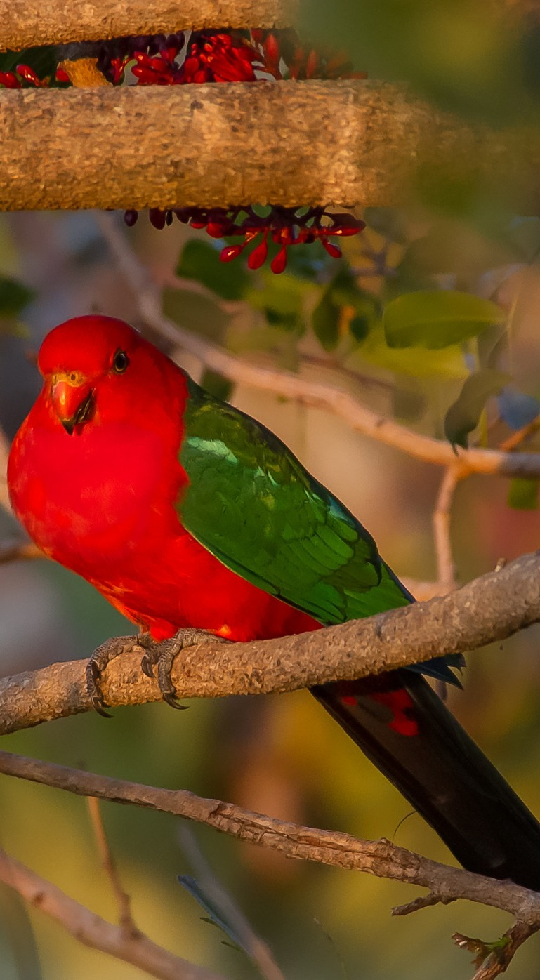 A colorful king parrot.