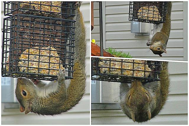 Squirrel gymnastics...